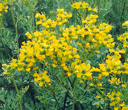 All Things Herbal: Ruta Graveolens